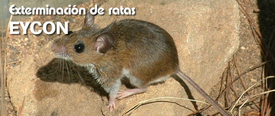 Plaga de ratones en casa affordable matar ratones el blog - Como alejar las ratas de la casa ...
